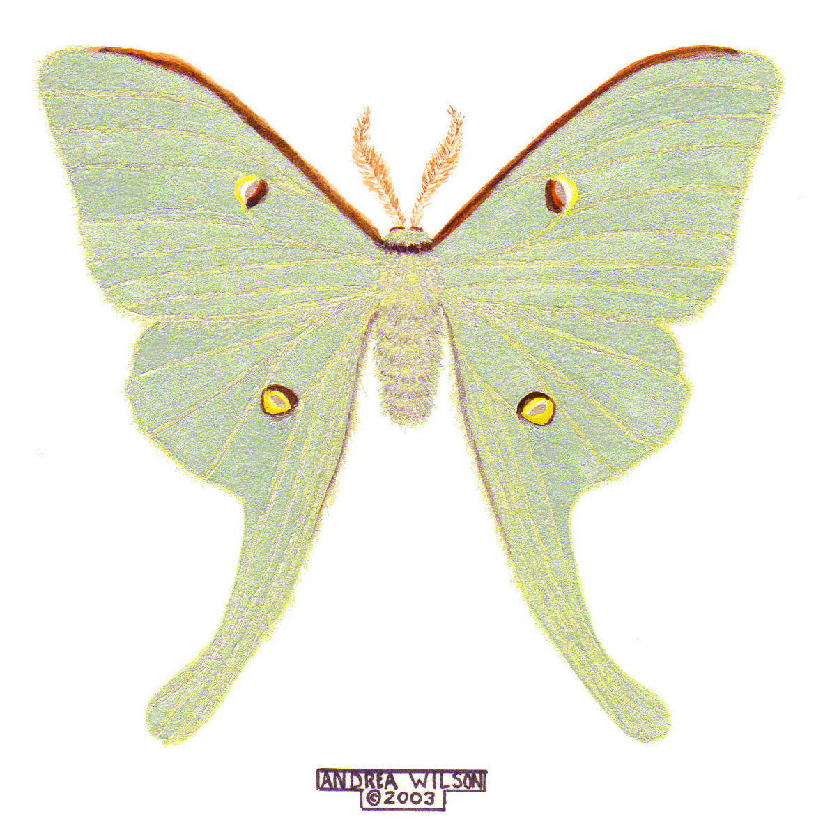 watercolor reproduction of a luna moth (large view)