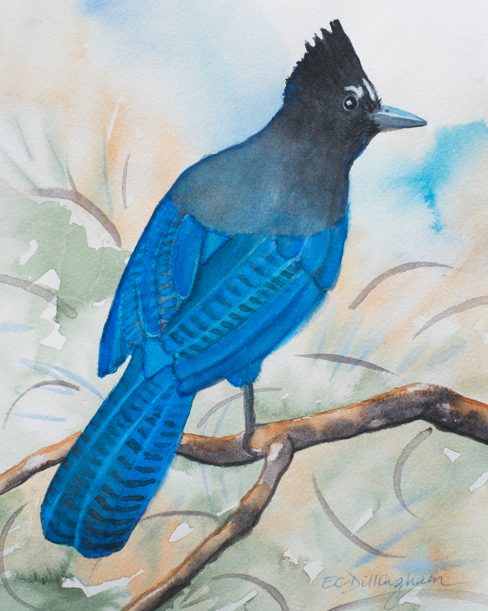 Our Western Bluejay - Stellar's Jay (large view)