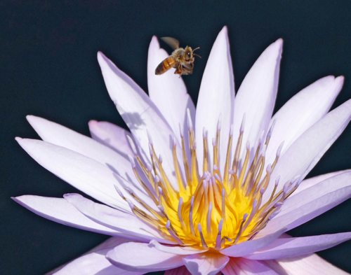 Bee, Water Lily  (No. 64)