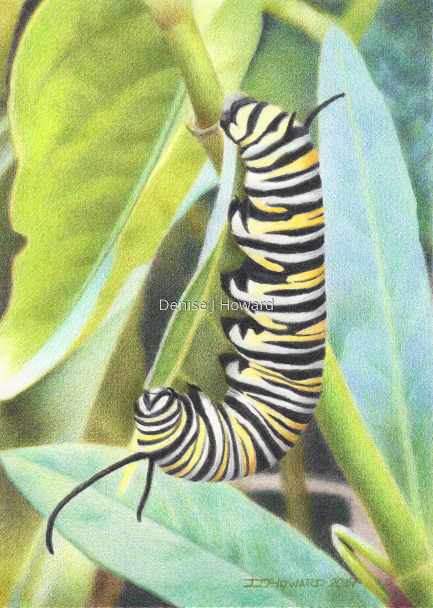 Monarch Caterpillar (large view)