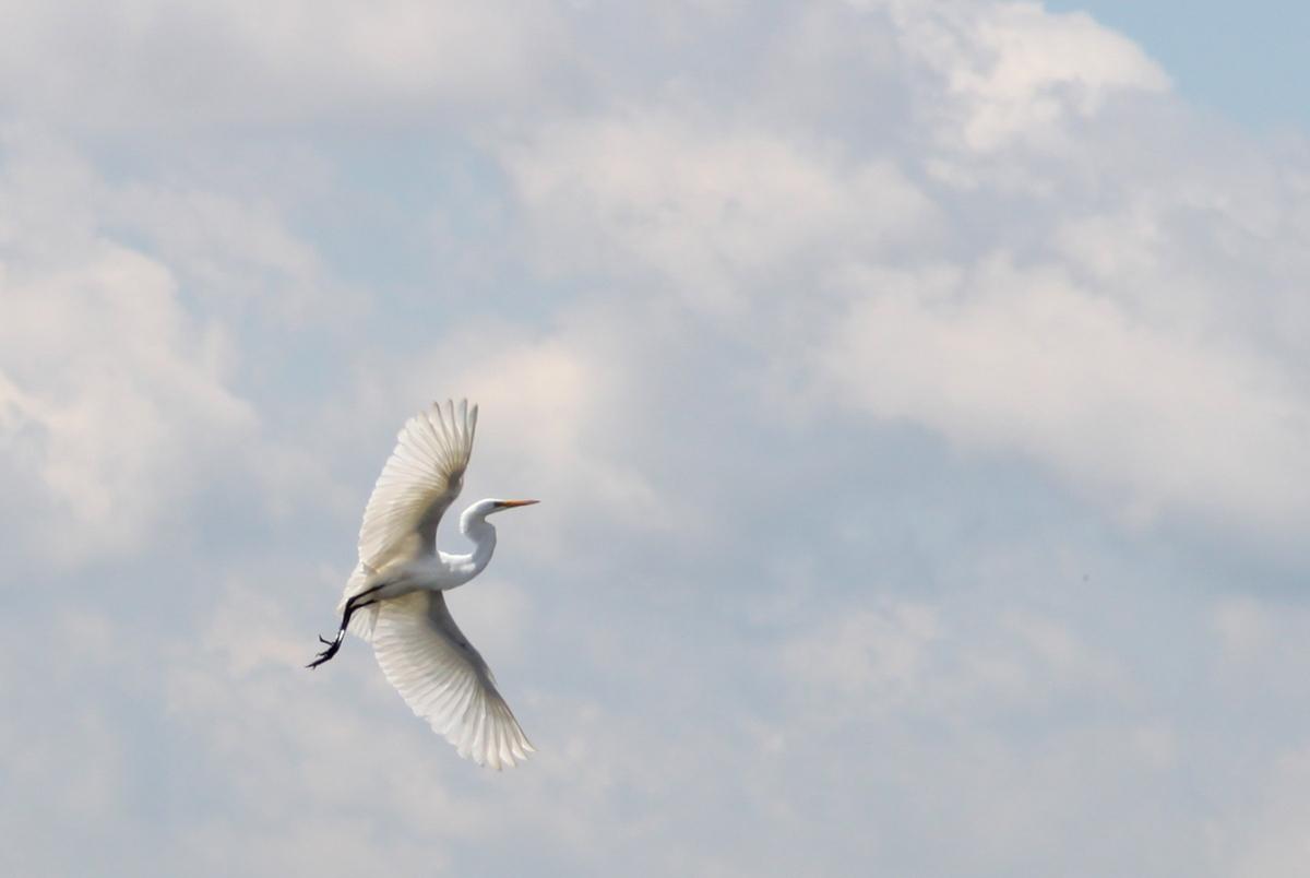Soaring Egret  (large view)