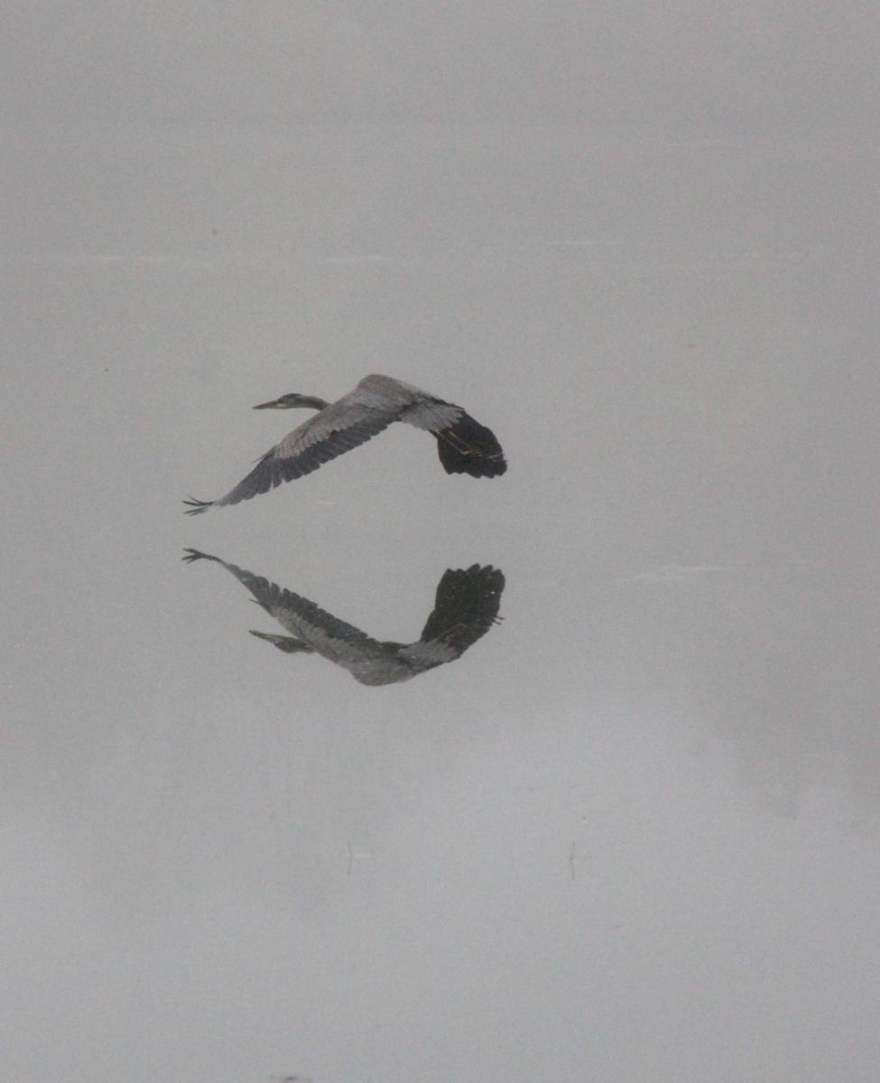 Blue Heron in Flight  (large view)
