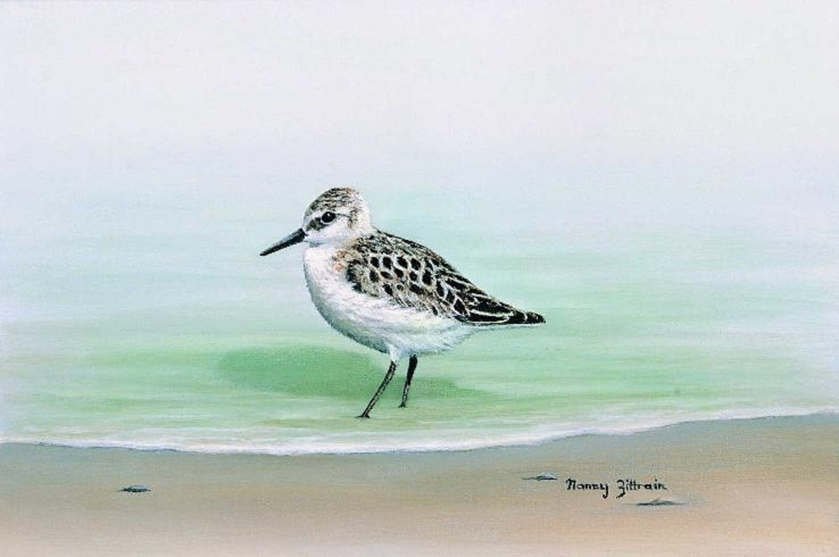 Sanderling (large view)
