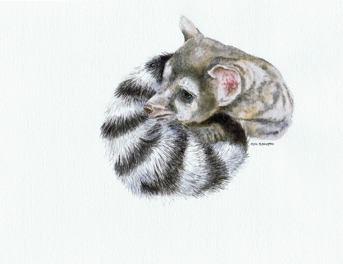 Ringtail (large view)