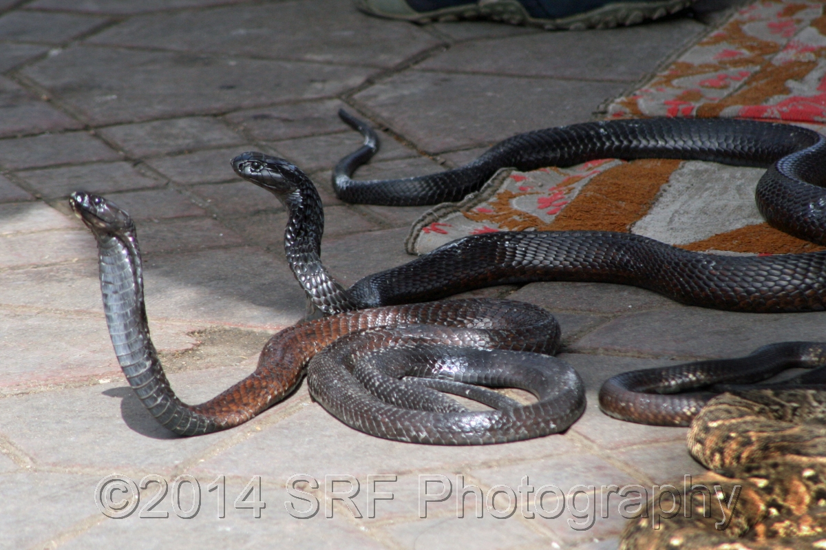 Serpents in the Marrakech Square (large view)
